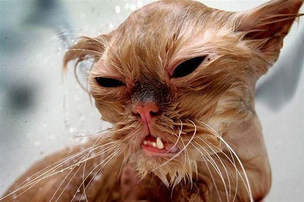 Voici les 20 chats les plus laids du monde