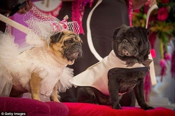 Après être sortis ensemble pendant sept ans 2 chiens se marient: photos
